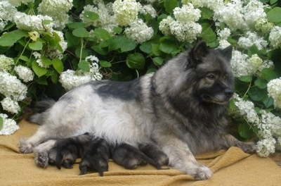 A Keeshond is laying outside on a blanket in front of a flower bush with four puppies laying under her.