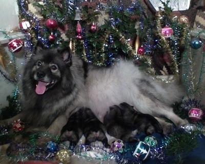 A Keeshond dog and her litter of puppies are laying under Christmas tree full of ornaments.