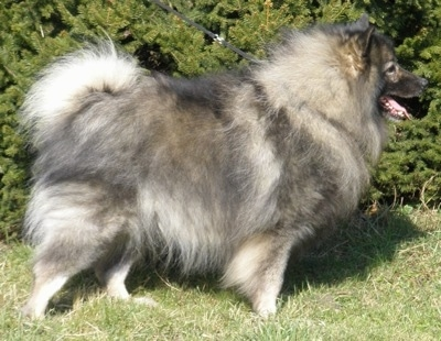 Close Up side view - A Keeshond is standing in grass. Its mouth is open and tongue is out