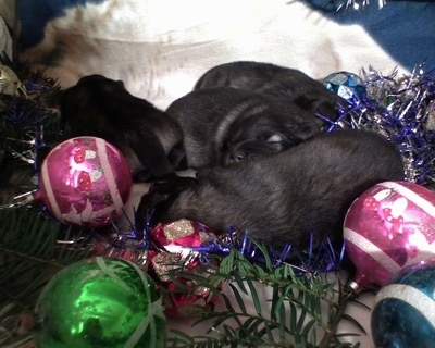 A litter of Keeshond puppies are laying next to Christmas ornaments
