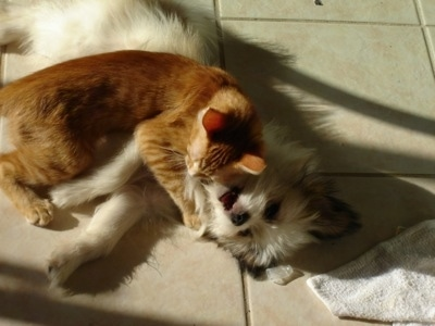 Gizmo the Kimola (American Eskimo / Lhasa Apso Hybrid) playing with Tiger the orange tabby cat.