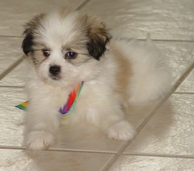 A fluffy white with grey and tan Kimola puppy is laying on a tiled floor with a rainbow ribbon under it and looking forward.