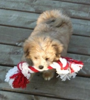 A fluffy tan Kimola puppy is walking on a wooden deck and it has a red and white rope toy in its mouth