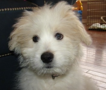 Close Up head shot - A white Kimola puppy is sitting on a hardwood floor in front of a couch. There is a dog crate on the other side of the room.