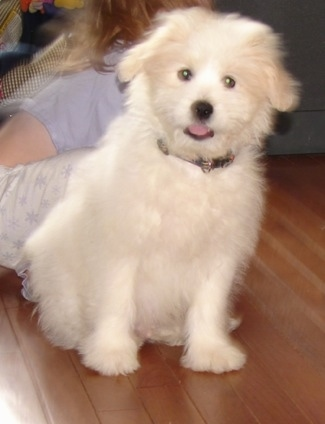A fluffy white Kimola puppy is sitting in front of a person on a pillow