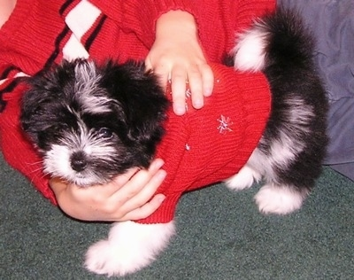 A black and white Kimola puppy is wearing a red sweater and there is a person who is also wearing a red sweater behind it with their hands on the dog.