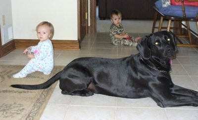 A black Labmaraner dog is laying on a white tiled floor with two toddlers sitting in the same room. One child is a girl and is behind the dog and the second child is a little boy and he is across the room on the far side of the dog.