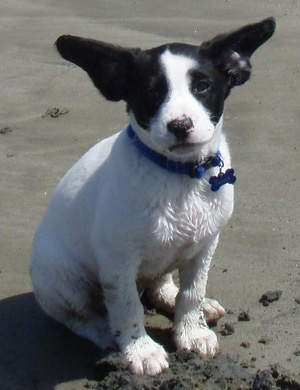 A wet white with black Labradinger puppy is sitting on a beach and looking forward. The dog has large black ears that are out to the sides like wings. It is wearing a blue collar with a blue dog bone tag hanging from it.