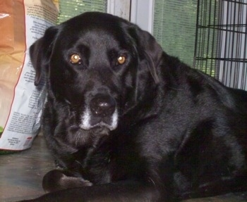 The black Lab is B-B. She is 13 years old and still doing well. I have had her since I was born.