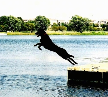 Action shot of dog in mid-air - A Labrottie is jumping off of a dock into a body of water