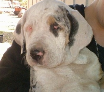 Upper body shot - A merle-colored white with black and tan Leopard Cur puppy is being held in the arms of a person.