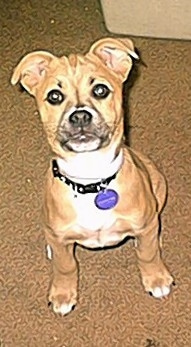 Tawny the Boxer / Chihuahua hybrid dog as a 12 week old puppy.