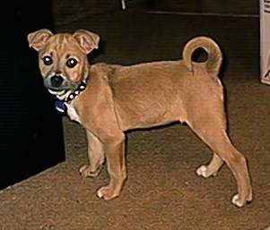 The left side of a tan with white Boxachi puppy that is standing across a carpet and it is looking forward.