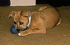 A tan with white Boxachi puppy is laying on a carpet and it is biting at a ball toy.