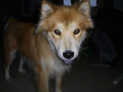 Front side view - A tan with white Chow Chow/Husky mix is standing on a carpet and its black tongue is hanging out of its mouth. It almost looks like a red wolf.