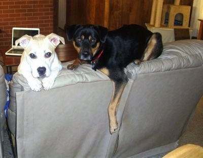 Two dogs on the back of a coffee colored leather couch - A short legged, tan with white Pit Bull/Corgi mix breed dog has its front paws oer the back with its head peering over. It is next to a black and tan Shepweiler mix that is laying on the top back part of the couch with one paw hanging over the edge.