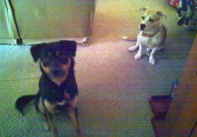 A black with brown Shepweiler mix is sitting on a carpet and looking up. Behind it is a short-legged tan with white Pit Bull/Corgi mix looking at the Shepweiler. They are in a living room.