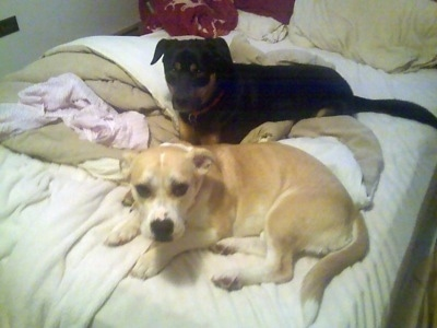 A black with brown Shepweiler mix is laying on a human's bed next to a tan with white Pitbull/Corgi mix.