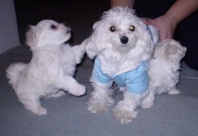 Two white dogs on a blue carpet, an adult wearing a baby blue shirt and a small puppy that is jumped up with its front paw on the older dog. There is a person with their hands on the back of the older dog.