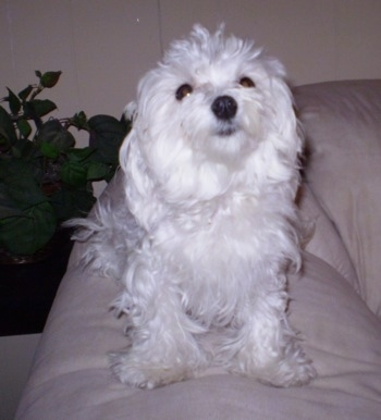 Maltese Puppy Temperament