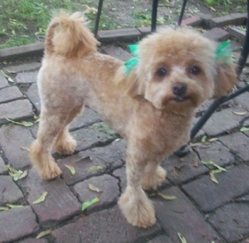A groomed-short, tan Malti-poo with green ribbons over each ear standing on a brick porch with a medal table behind it. Its tail is curled over its back.