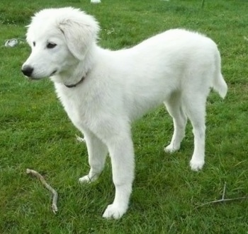 Lulu, the Maremma Sheepdog puppy at 4 1/2 months old.