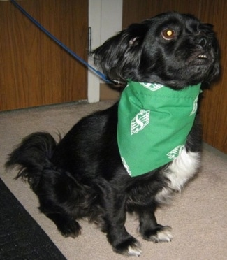 A black with white Markiesje dog is sitting on a tan carpet and it is wearing a green bandana and looking up and to the right.