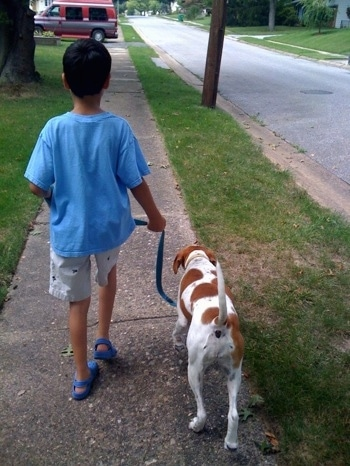 The back of a tan and white Dog is walking down the street with a boy in a blue shirt.