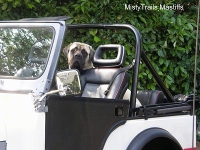 Saul the Mastiff sitting in a Jeep