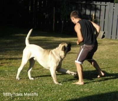 Saul the Mastiff playing in the yard with a person