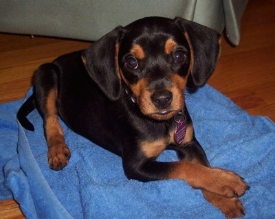 A black and tan Meagle puppy is laying on a blue towel on a hardwood floor in front of a green couch.