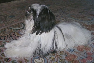 Side view - A long coat black and white Mi-Ki is laying on a tan oriental rug looking up.