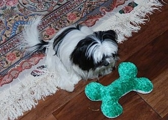 A long coat black and white Mi-Ki is sitting on a tan oriental rug in front of a green plush bone that is on a hardwood floor.