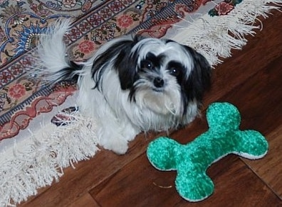 A long coat black and white Mi-Ki is sitting on a tan oriental rug looking up with a green plush bone in front of it that is on a hardwood floor. The toy is almost as big as the dog.