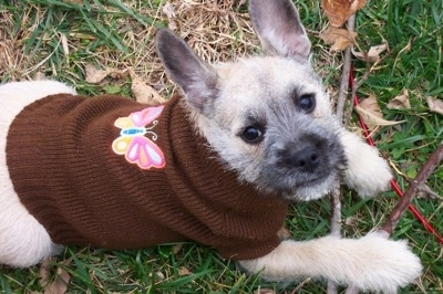 A wiry  looking tan with white and black Miniature French Schnauzer puppy is wearing a brown sweater with a butterfly on the center of its back. It is looking up and there is a stick under its front paws.