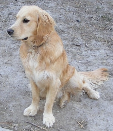A Miniature Golden Retriever is sitting on dry dirt and looking forward.