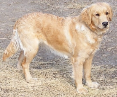 Side view - A Miniature Golden Retriever is standing in straw.