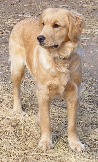 Front view - A Miniature Golden Retriever is standing in straw and looking to the left.