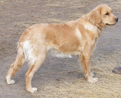 Right Profile - A Miniature Golden Retriever is standing on dry dirt and straw and looking forward.