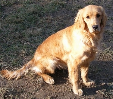 Miniature Golden Retriever bred by C and S Ranch. Breeding their dogs to be about 17-18 inches at the shoulders and between 35-45 lbs.