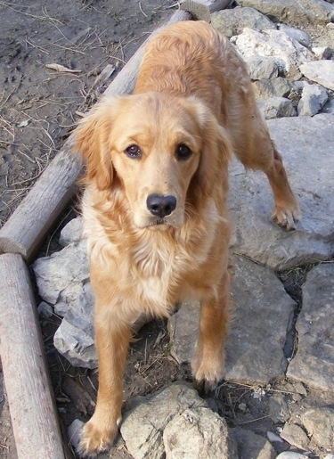 A Miniature Golden Retriever is standing on rocks and looking up. There are logs bordering the edge of the rocks.