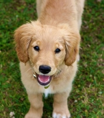 Golden Retriever Puppies on Miniature Golden Retriever Information And Pictures  Miniature Golden