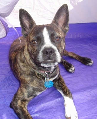 A perk-eared, brown brindle with white Boston Terrier/Dachshund/Shar-Pei/Chow Chow/Newfoundland mix puppy is laying in a tent that has a purple floor and looking forward.
