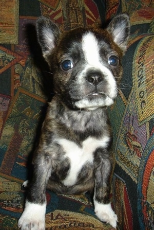 A small, bat-eared, brown brindle with white Boston Terrier/Dachshund/Shar-Pei/Chow Chow/Newfoundland mix puppy is sitting at the corner of a colorful print couch looking forward.