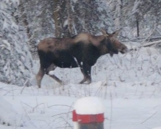 The right side of a Moose walking across a snowy environment.