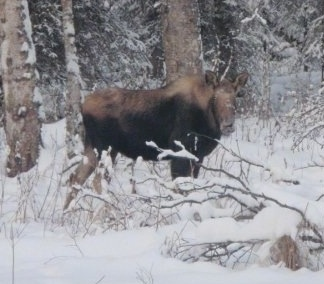 Theright side of a Moose that is standing on snow and it is looking forward.