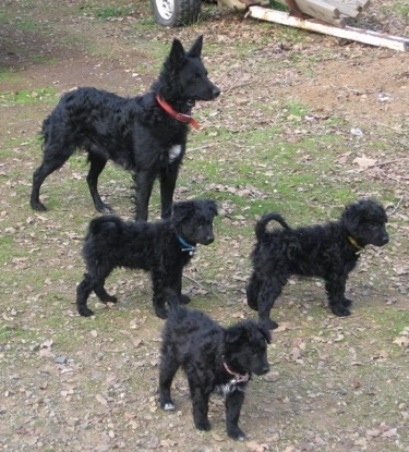 An adult black with white Mudi and a litter of 3 puppies are standing in grass and looking to the right.