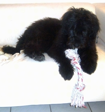 A black Newfypoo puppy is laying on a white couch with a rope toy in between its front paws.