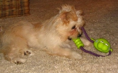Side view - A white with tan Nortese puppy is laying on a tan carpet playing with a green and purple rope frog toy.