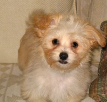 brown maltese dog brown maltese dog mix 9605